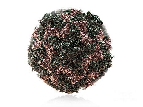 Evan Oto - Human Rhinovirus