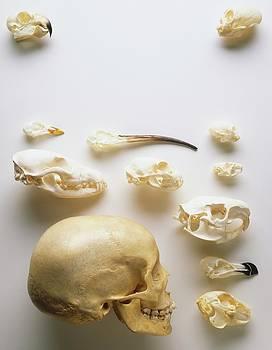 Human Skull And Animal Skulls by Dorling Kindersley/uig