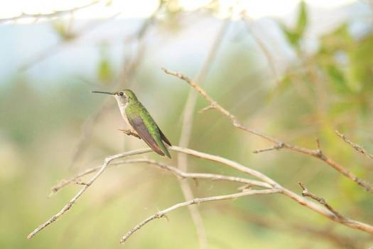 Humming Bird Perch by Alicia Knust