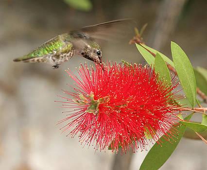 Humming Bird by Teresa Moore