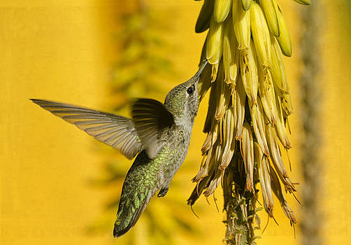 Saija  Lehtonen - Hummingbird and the Aloe Blooms