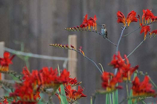 Mick Anderson - Hummingbird At Rest