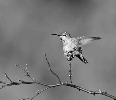 Hummingbird BW by Kathy King