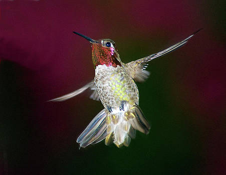 Hummingbird Hovering by Heide Stover