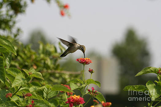 Hummingbird in Action 1 by Amanda Collins