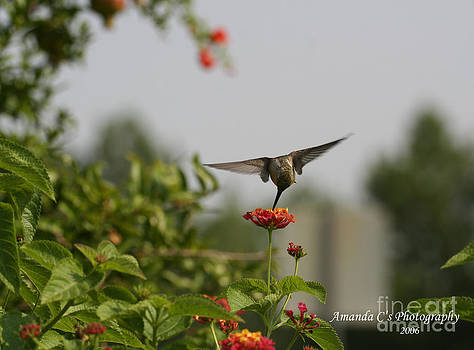 Hummingbird in Action 3 by Amanda Collins