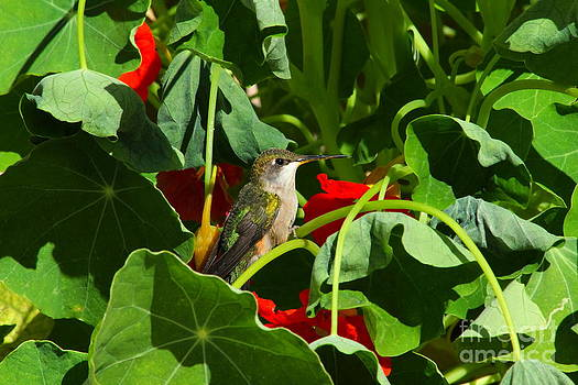 Hummingbird In the Nasturtiums by Marjorie Imbeau