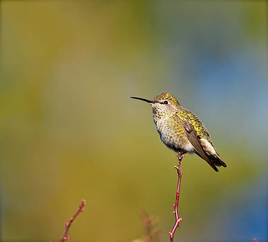 Hummingbird by Kathy King