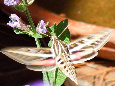 Hummingbird Moth by Donna Jackson