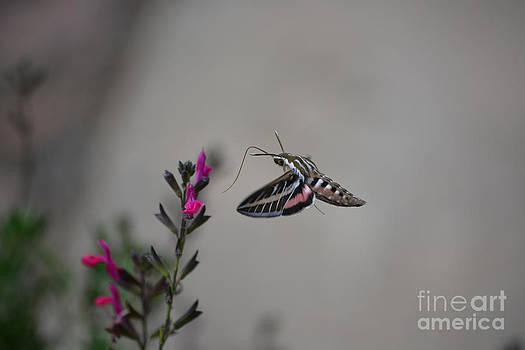 Hummingbird Moth by Gale Cochran-Smith