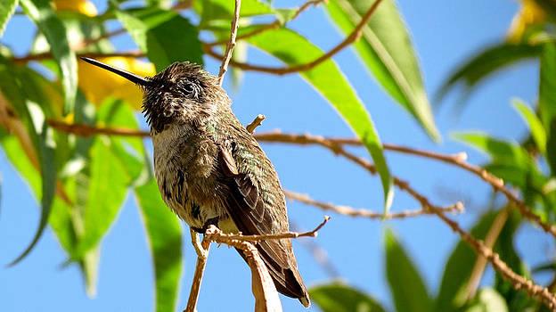 Hummingbird on a branch by Robert Bascelli