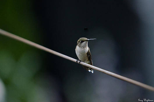 Hummingbird on a Wire by Gary Wightman