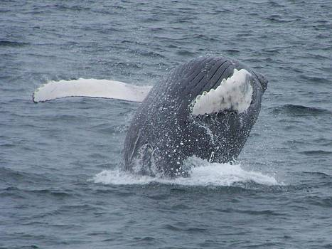 Humpback Breach by Noreen HaCohen