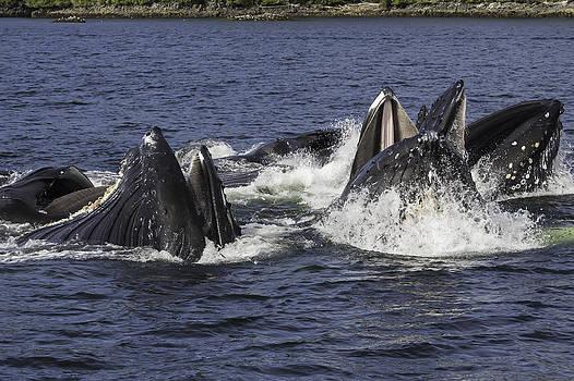 Humpbacks Feeding Close-up by Lisa Hufnagel