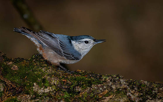Hungry Nuthatch  by Jim Johnson