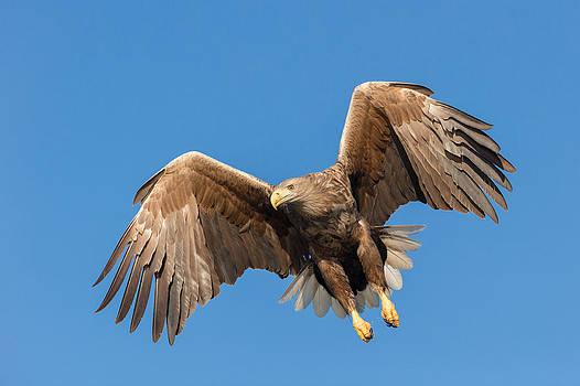 Hunting Sea Eagle by Andy Astbury
