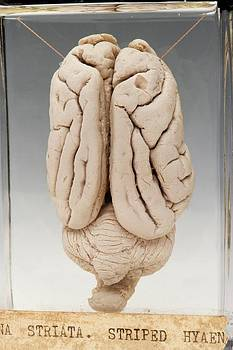 Hyaena Brain by Ucl, Grant Museum Of Zoology
