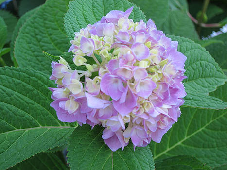 Hydrangea - BEFORE by Laurie Poetschke