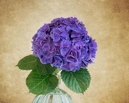 Hydrangea IV by Mary Hershberger