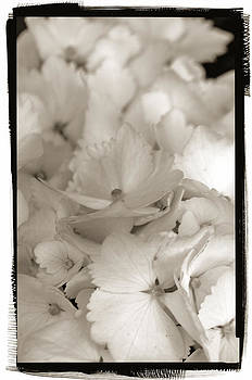 Hydrangea Toned by Craig Perry-Ollila