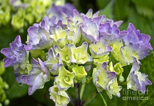 Gwyn Newcombe - Hydrangeas Galore