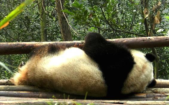 I Don't Fit Panda Chengdu China by Sandra Sengstock-Miller