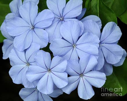 Sabrina L Ryan - I Love Blue Flowers