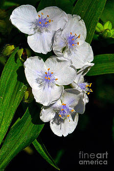Byron Varvarigos - I Love Spiderworts