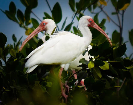 Ibis Guards by Kerry Hauser