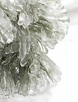 Ice on pine branches by Blink Images