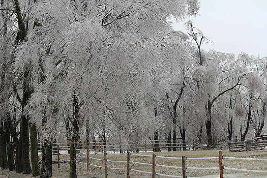 Ice Trees by Carrie  Godwin