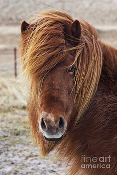 Angela Doelling AD DESIGN Photo and PhotoArt - Iceland Horse