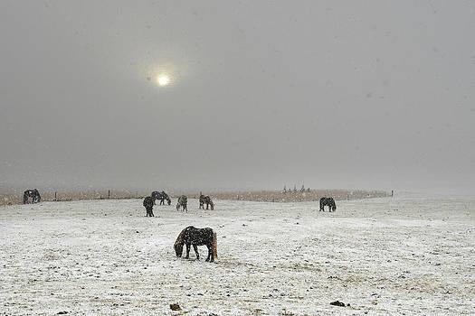 Icelandic Horses On Snowy Landscape by Raul Touzon