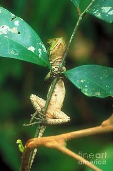 Art Wolfe - Iguana Balancing Act