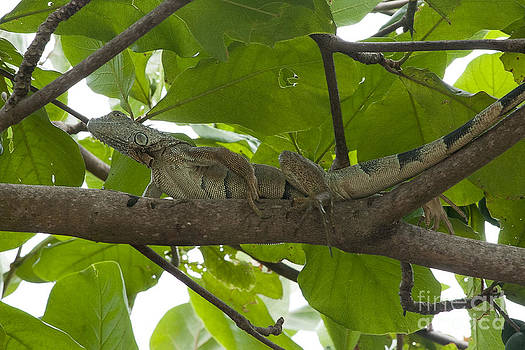 Dan Friend - Iguana in tree