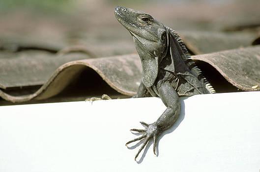 Novastock - Iguana