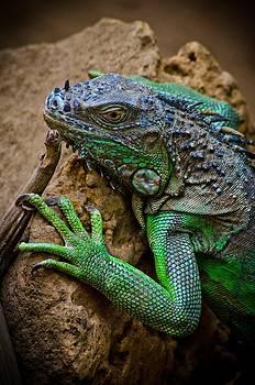 Iguana Party? by William Shevchuk