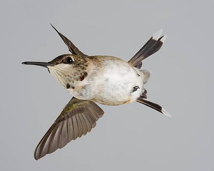 Gregory Scott - Immature Male Ruby-Throated Hummingbird