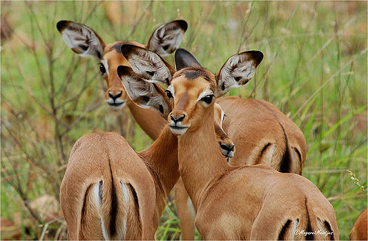 Impala by Judith Meintjes