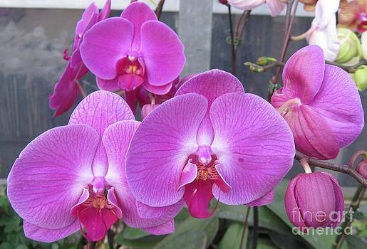 Imperial Purple Orchid by Donna Cavender