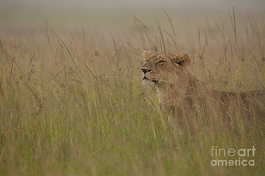 In Search of Cubs by Ashley Vincent