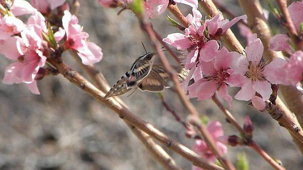In the peach blossms by Kyla Heath