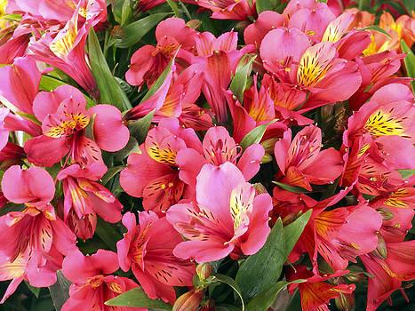 Kurt Van Wagner - Inca Lilies