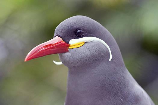 Inca Tern by Boris Blyumberg