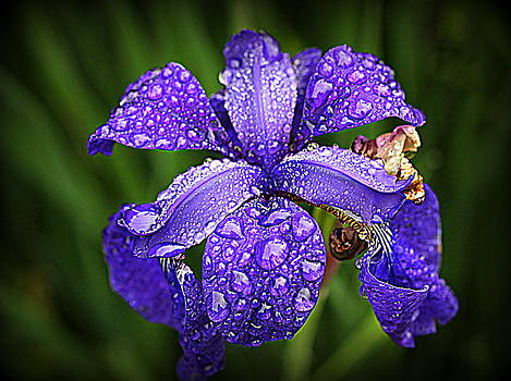 Incredible Iris by Suzanne DeGeorge