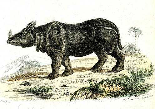 Indian Rhinoceros by Collection Abecasis
