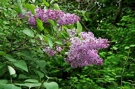 Mary Lee Dereske - Inside a Lilac Bush