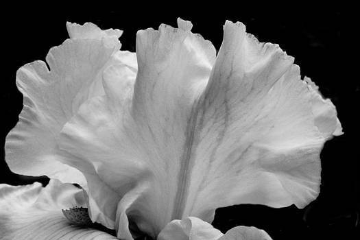 Iris 4 by Larry Goss