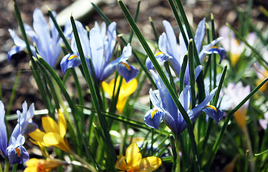 Iris and Crocus by Gerry Bates