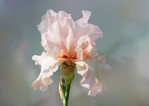 Iris in Pink by Ilona Stefan